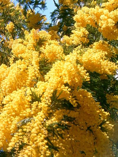 Mimosa en fleurs (Bormes les Mimosas, 13 Février 2005)