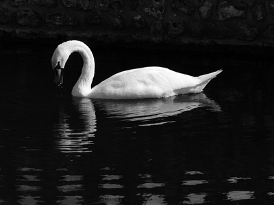 Cygne (Cany-Barville, 18 juillet 2005)