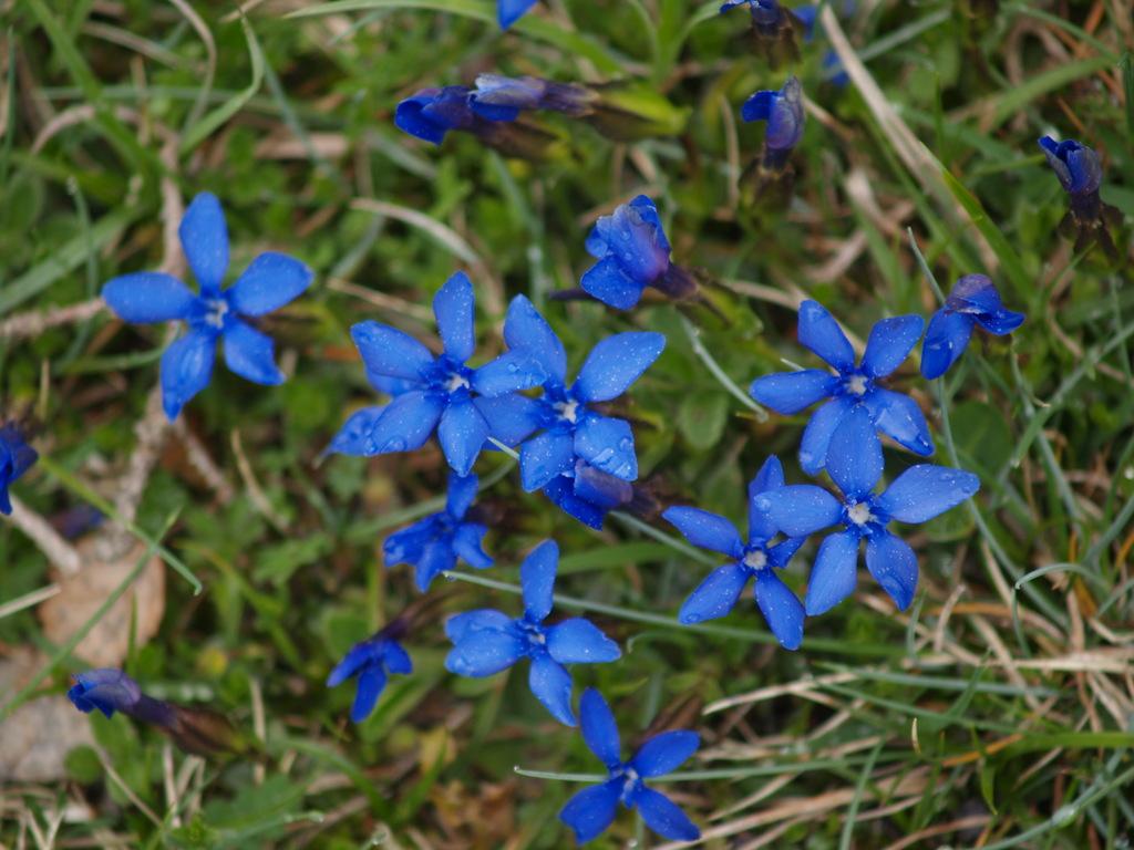 Fleurs de montagne (Vercors, 8 mai 2007)